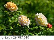 Роза чайно-гибридная Глория Дэй (Глория Дей, Глория Дей Пис, Мадам А. Мейян, Мадам Мэйян, Mme Antoine Meilland, Beke, Fredsrosen, M-me A. Meilland), (Peace, Gloria Dei). Meilland Roses, France 1945. Стоковое фото, фотограф lana1501 / Фотобанк Лори
