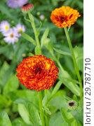 Купить «Календула махровая цветет в саду», фото № 29787710, снято 10 июля 2018 г. (c) Елена Коромыслова / Фотобанк Лори