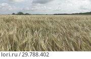Купить «Wind swings ripe ears of wheat in the field in sunny day», видеоролик № 29788402, снято 23 января 2009 г. (c) Куликов Константин / Фотобанк Лори