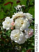 Купить «Роза гибридная мускусная Просперити (лат. Rosa Prosperity). J. H. Pemberton, Великобритания 1919», эксклюзивное фото № 29794662, снято 7 августа 2015 г. (c) lana1501 / Фотобанк Лори