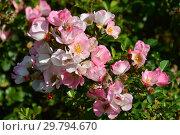 Купить «Роза флорибунда Париж 2000 (DELav), (лат. Rosa Paris 2000). Delbard (Делбар), France 2001», эксклюзивное фото № 29794670, снято 7 августа 2015 г. (c) lana1501 / Фотобанк Лори