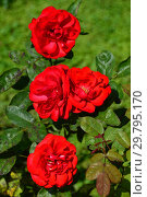 Купить «Роза плетистая (клаймберы) Гранд Хотел (Гранд Отель, MACtel, Grandhotel, Hotel Royal), (лат. Grand Hotel). McGredy, Ирландия 1972», эксклюзивное фото № 29795170, снято 7 августа 2015 г. (c) lana1501 / Фотобанк Лори