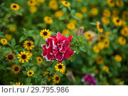 Купить «Field of yellow flowers of orange coneflower also called rudbeckia», фото № 29795986, снято 16 сентября 2018 г. (c) Jan Jack Russo Media / Фотобанк Лори
