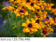 Купить «Field of yellow flowers of orange coneflower also called rudbeckia», фото № 29796446, снято 16 сентября 2018 г. (c) Jan Jack Russo Media / Фотобанк Лори