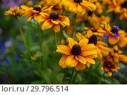Купить «Field of yellow flowers of orange coneflower also called rudbeckia», фото № 29796514, снято 16 сентября 2018 г. (c) Jan Jack Russo Media / Фотобанк Лори