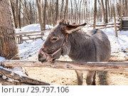 Купить «Donkey close-up at the farm in winter sunny day», фото № 29797106, снято 11 марта 2018 г. (c) FotograFF / Фотобанк Лори