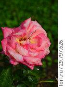 Купить «Чайно-гибридная роза Ди Велт (Дай Велт, Ди Вельт, DieKOR, Kordes' Rose Die Welt,The World, World Rose), (лат. Rosa Die Welt). W.Kordes Sohne, Германия 1976», эксклюзивное фото № 29797626, снято 7 августа 2015 г. (c) lana1501 / Фотобанк Лори