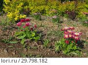 Купить «Красные маргаритки (лат. Bellis perennis) на клумбе в саду», фото № 29798182, снято 22 мая 2018 г. (c) Елена Коромыслова / Фотобанк Лори