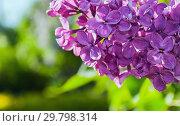 Купить «Blooming lilac flowers, spring floral background of lilac flowers in spring bloom», фото № 29798314, снято 15 июня 2017 г. (c) Зезелина Марина / Фотобанк Лори