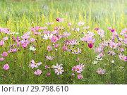 Купить «Розовые и белые цветы космеи в лучах вечернего солнца. Однолетние цветы», фото № 29798610, снято 16 июля 2018 г. (c) Наталья Осипова / Фотобанк Лори