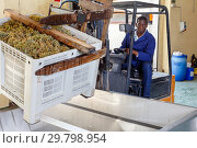 African American male worker controlling process of unloading grapes with forklift. Стоковое фото, фотограф Яков Филимонов / Фотобанк Лори