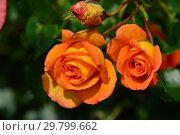 Купить «Роза плетистая Сахара (TANarasah), (Sahara). Rosen Tantau, Германия 1996», эксклюзивное фото № 29799662, снято 7 августа 2015 г. (c) lana1501 / Фотобанк Лори