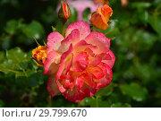 Купить «Роза кустовая (шрабы) Сахара (TANarasah), (лат. Rosa Sahara). Rosen Tantau (Розы Тантау), Germany 1996», эксклюзивное фото № 29799670, снято 7 августа 2015 г. (c) lana1501 / Фотобанк Лори