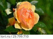 Купить «Роза флорибунда Хансештадт Росток (Хансэштадт Росток, RT 04-603, Mythique, Tan04603, Quuen Bee), (лат. Hansestadt Rostock). Tantau, Германия 2010», эксклюзивное фото № 29799710, снято 7 августа 2015 г. (c) lana1501 / Фотобанк Лори