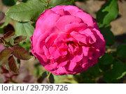 Роза чайно-гибридная Дуфтрауш (Дуфтраш, Old Fragrance, Senteur Royale, Duftrausch 86, TANschaubud, Olde Fragrance), (лат. Rosa Duftrausch). Rosen Tantau, Германия 1986. Стоковое фото, фотограф lana1501 / Фотобанк Лори