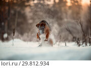 Купить «Red cute german shepard 4-th months puppy portrait at snow at the winter.», фото № 29812934, снято 24 января 2019 г. (c) Julia Shepeleva / Фотобанк Лори