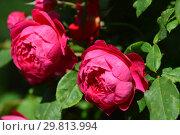 Роза кустарниковая Бенджамин Бриттен (Ausencart), (лат. Benjamin Britten). David Austin Roses, Великобритания 2002. Стоковое фото, фотограф lana1501 / Фотобанк Лори