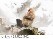 Купить «japanese macaques or snow monkeys at hot spring», фото № 29820542, снято 7 февраля 2018 г. (c) Syda Productions / Фотобанк Лори