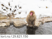 Купить «japanese macaque or snow monkey in hot spring», фото № 29821150, снято 7 февраля 2018 г. (c) Syda Productions / Фотобанк Лори