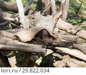 Купить «Orangutan cub has covered himself with a rag», фото № 29822034, снято 9 апреля 2018 г. (c) Наталья Волкова / Фотобанк Лори