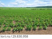 Купить «Картофельное поле летним солнечным днем», фото № 29830958, снято 27 июня 2018 г. (c) Елена Коромыслова / Фотобанк Лори