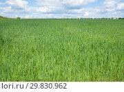 Купить «Летний сельский пейзаж с овсяным полем», фото № 29830962, снято 27 июня 2018 г. (c) Елена Коромыслова / Фотобанк Лори