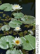 Купить «Многолетнее водное растение Кувшинка белая (Водная лилия, Нимфея), (лат. Nymphaea alba)», эксклюзивное фото № 29831070, снято 6 августа 2015 г. (c) lana1501 / Фотобанк Лори
