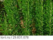 Купить «Розмарин лекарственный (лат. Rosmarinus officinalis)», эксклюзивное фото № 29831078, снято 6 августа 2015 г. (c) lana1501 / Фотобанк Лори