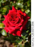 Купить «Роза чайно-гибридная Вельвет Алиби (Вэльвет Алиби, ADAhuin, Rouge Adam), (лат. Velvet Alibi). Adam, Франция 1996», эксклюзивное фото № 29831094, снято 6 августа 2015 г. (c) lana1501 / Фотобанк Лори