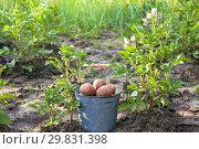Купить «First harvest of potatoes in garden», фото № 29831398, снято 18 июля 2018 г. (c) Papoyan Irina / Фотобанк Лори