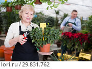 Купить «Adult woman is pruning blooming flowers on her work place», фото № 29831762, снято 23 февраля 2018 г. (c) Яков Филимонов / Фотобанк Лори