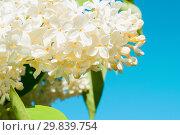 Купить «Spring flower background with white lilac flowers on the background of the blue sky», фото № 29839754, снято 15 июня 2017 г. (c) Зезелина Марина / Фотобанк Лори