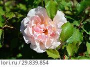 Купить «Роза чайно-гибридная Стиле '800 (BARottoc), (лат. Rosa Stile '800). Barni, Italy 1999», эксклюзивное фото № 29839854, снято 4 августа 2015 г. (c) lana1501 / Фотобанк Лори