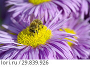 Купить «Пчела на цветке мелколепестника (лат. Erigeron)», фото № 29839926, снято 19 июля 2017 г. (c) Елена Коромыслова / Фотобанк Лори