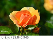 Купить «Роза флорибунда Хансештадт Росток (Хансэштадт Росток, RT 04-603, Mythique, Tan04603, Quuen Bee), (Hansestadt Rostock). Rosen Tantau (Розы Тантау), Germany 2010», эксклюзивное фото № 29840946, снято 7 августа 2015 г. (c) lana1501 / Фотобанк Лори