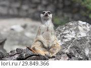 Купить «Любопытный смешной сурикат сидит на пне и смотрит в камеру», фото № 29849366, снято 3 июля 2018 г. (c) Милана Харитонова / Фотобанк Лори