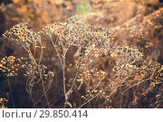 Купить «Засохшая осенняя трава в лучах осеннего солнца в качестве фона, заставки», фото № 29850414, снято 26 октября 2018 г. (c) Круглов Олег / Фотобанк Лори