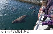 Купить «Люди наблюдают за сивучами в море», видеоролик № 29851342, снято 4 февраля 2019 г. (c) А. А. Пирагис / Фотобанк Лори
