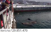 Купить «Люди наблюдают за сивучами в море», видеоролик № 29851470, снято 4 февраля 2019 г. (c) А. А. Пирагис / Фотобанк Лори