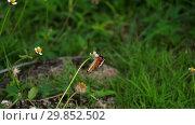 Купить «Monarch butterfly on flower», видеоролик № 29852502, снято 26 января 2019 г. (c) Игорь Жоров / Фотобанк Лори