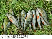 Купить «Летняя рыбалка. Пойманные окуни на траве», эксклюзивное фото № 29852670, снято 7 сентября 2009 г. (c) Dmitry29 / Фотобанк Лори