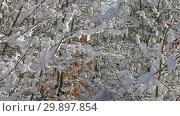 Купить «Snow melts on snow-covered branches in forest», видеоролик № 29897854, снято 19 января 2019 г. (c) Михаил Коханчиков / Фотобанк Лори