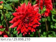 Купить «Георгин бордюрный декоративный Ред Сан (лат. Red Sun)», эксклюзивное фото № 29898210, снято 4 августа 2015 г. (c) lana1501 / Фотобанк Лори