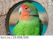Купить «Lilian's lovebird green exotic parrot bird», фото № 29898590, снято 29 сентября 2018 г. (c) Михаил Коханчиков / Фотобанк Лори