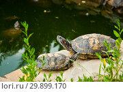 Купить «Red-Eared Slider Turtles», фото № 29899170, снято 19 июля 2017 г. (c) Наталья Двухимённая / Фотобанк Лори