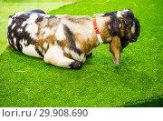 Купить «Англо - нубийская коза (Nubish)», фото № 29908690, снято 6 февраля 2019 г. (c) Галина Савина / Фотобанк Лори