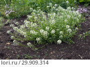 Куст алиссума медового или лобулярии белой цветёт на клумбе летом. Стоковое фото, фотограф Светлана Попова / Фотобанк Лори