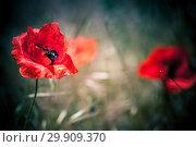 Купить «Red poppy flower», фото № 29909370, снято 6 мая 2018 г. (c) EugeneSergeev / Фотобанк Лори