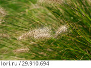 Купить «Pennisetum villosum», фото № 29910694, снято 27 марта 2019 г. (c) age Fotostock / Фотобанк Лори
