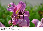 Купить «Лилия (лилия дерево) ОТ-гибрид (ориенпеты) Миф (Голиаф), (лат. Myth)», эксклюзивное фото № 29916110, снято 27 июля 2015 г. (c) lana1501 / Фотобанк Лори